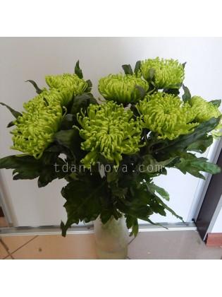 Крупные зеленые хризантемы