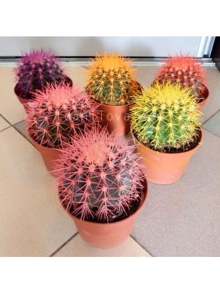 Кактусы с цветными иголками